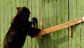 За окном лесник услышал рык зверя: у ворот стоял медведь и просил помочь