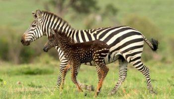 В заповеднике Кении родилась не полосатая, а пятнистая зебра