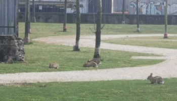 Милан неожиданно наводнили дикие кролики.
