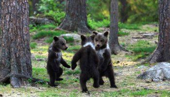 Редкие снимки «танцующих» медвежат в лесу, сделанные финским учителем