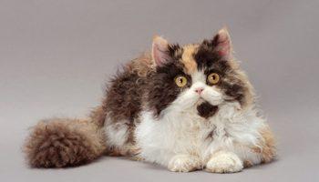 Очаровательные кудрявые коты покорили всех пользователей Сети