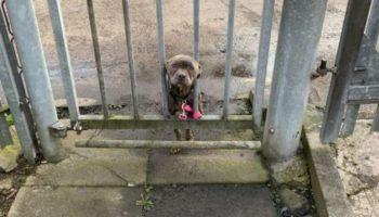 Худую собачонку привязали к воротам приюта. Бедняжка просунула мордашку сквозь прутья, в ее глазах была грусть
