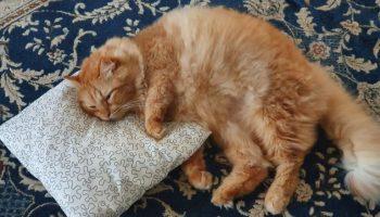Пользователь Твиттера поведал, как его мама разбаловала любимого кота, и теперь пушистику завидуют все