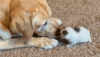 Старый лабрадор «удочерил» только что родившегося котенка. Милее семьи не найти!