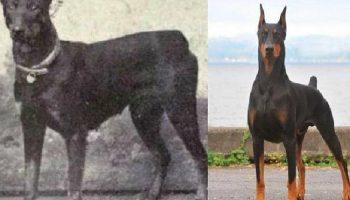 12 пород собак, кардинально изменившихся за последние 100 лет…