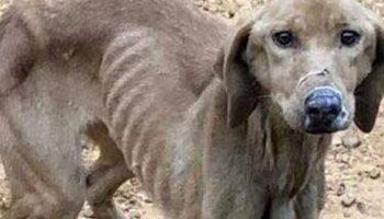 Исхудавшая и обессиленная собака понимала, что этот мужчина — последний шанс на спасение
