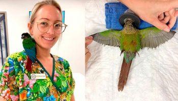 Ветеринар из Австралии смогла вернуть попугаю обрезанные крылья, теперь птица может снова летать