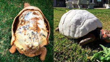 Ветеринары совершили чудо! Они впервые создали 3-D панцирь для черепахи, которая потеряла свой при пожаре