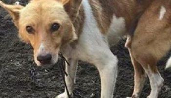 Эта собака просидела всю жизнь на цепи, полуголодной