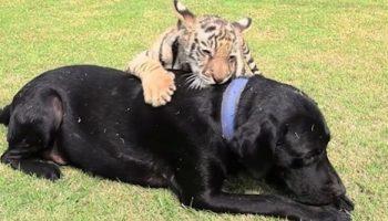 Собака по кличке Дженни усыновила маленького тигренка