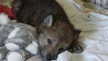 Американка спасла волчат. Теперь они превратились во взрослых гордых животных