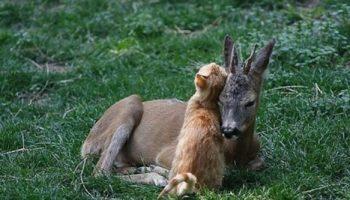 Маленький олененок по кличке Хоппи обрел новую маму в обычной домашней кошке.