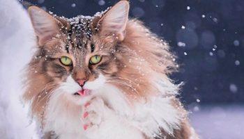 Норвежский лесной кот по кличке Пеппер, очень любит свободу и снег!
