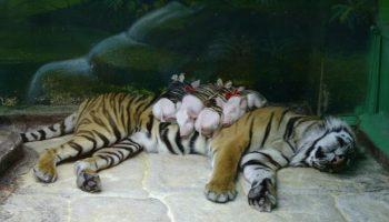 Дружба между этими животными противоречит всем законам природы