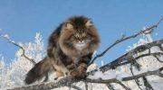 Шикарный сибирский кот — король всех котов!