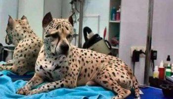 Самый необычный пес в мире — албанский питбуль! Неожиданные окрасы Титуса