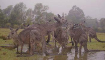 Никто так не радуется дождю, как австралийские животные