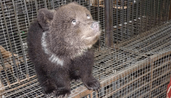 Медведица Маша, живущая в омском зоопарке, три месяца скрывала, что стала мамой тройни