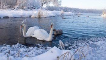 Забрав к себе на зимовку целую стаю лебедей, женщина, в буквальном смысле, спасла их