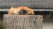 Очаровательная лиса заснула на пенечке, чем рассмешила канадцев и не только