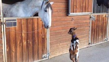 Милый козленок, прогуливаясь по улице, решил «станцевать» перед взрослой лошадью
