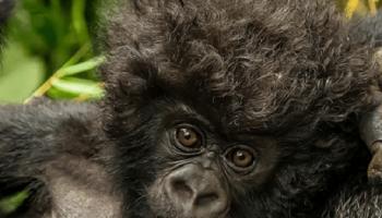 Этот 3-х недельный детеныш горной гориллы оказался модником