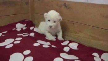 Очаровательное видео, как крохотный белый львенок учится рычать