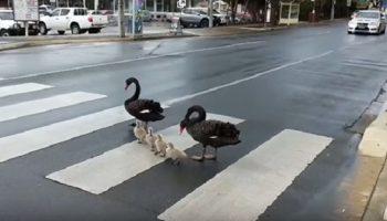 Семейство лебедей-пешеходов соблюдает правила дорожного движения