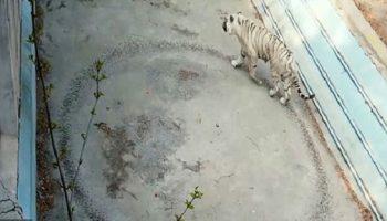 Психологи помогли тигру, который от грусти вытоптал у себя в вольере круг