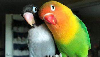 Очень яркий попугай-неразлучник  и его необычная пассия стали родителями