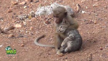 Маленькая обезьянка поймала котенка и пытается затащить его на дерево и усадить в свой домик