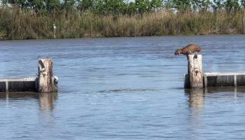 Грациозный прыжок рыси через водную преграду, случайно засняли рыбаки