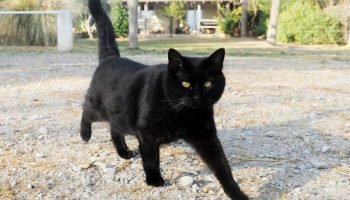 Кошка с материнским инстинктом усыновила опоссума