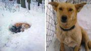 Собака замерзала в снегу, охраняя и согревая своих щенят теплом своего тела