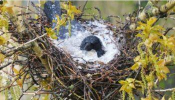Накрыв птенцов своим телом, ворона спасла их от града