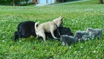 Малюсенький  чихуахуа по кличке Чарли спас котят от большой собаки