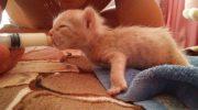 Ребята спасли крохотного рыжего котенка с врожденным дефектом лапок