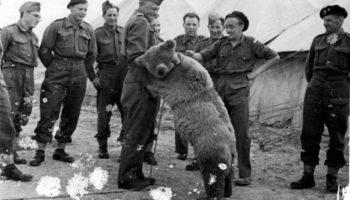 Героический медведь, который воевал во Второй Мировой