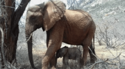 Спасенная в детстве людьми, маленькая слониха выросла, стала мамой и привела к своим спасителям новорожденного слоненка