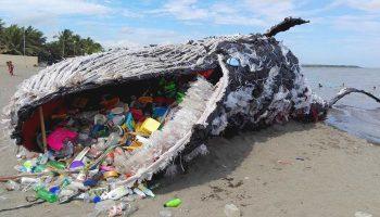 Его появление шокировало весь мир: в желудке кита обнаружили 40 килограммов пластиковых пакетов