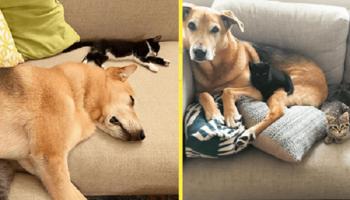 Взрослый пес стал заботливой нянькой для мяукающих пушистиков