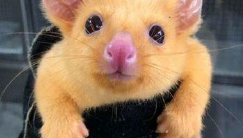 К австралийским ветеринарам привезли существо, которого в природе, просто не существует
