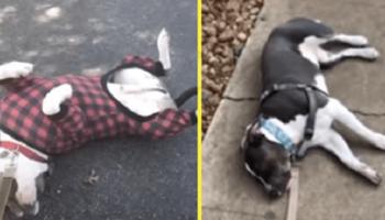 Незрячий пес по кличке Блу, частенько прикидывается мертвым
