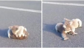 Девушке чудом удалось спасти играющих посреди дороги коал