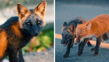 Брат с сестрой, лисы редкого окраса, подружились с фотографом и позировали ему несколько недель