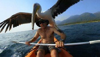 Спасенный от гибели пеликан ни на шаг не отходит от своего спасителя!
