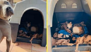Питбуль Аид помог родить беременной кошке