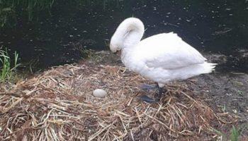 Сердце лебедицы не смогло пережить смерть самца и не рожденных лебедят
