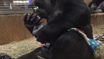 Сплошное удовольствие для всех сотрудников зоопарка и гостей, наблюдать как горилла постоянно целует своего новорожденного малыша