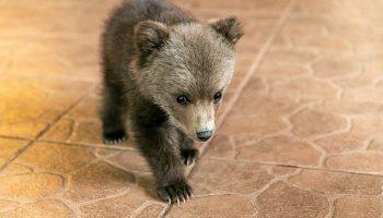Спасенный мужчиной маленький медвежонок, живет с ним на ферме